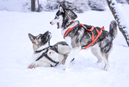 - siberian husky small - Dynamic Features in Swift | Ray Wenderlich